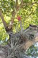 Tillandsia fasciculata (11124797893).jpg