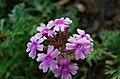 Timor flower.jpg