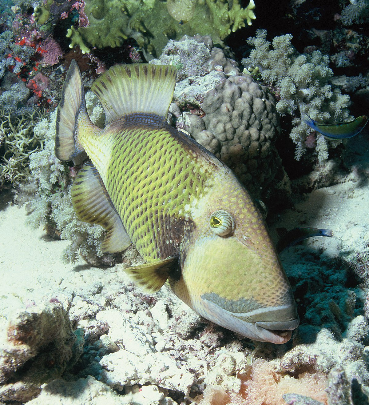 titan triggerfish wikipedia