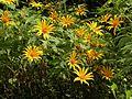 Tithonia diversifolia alien plant AJT Johnsingh.jpg