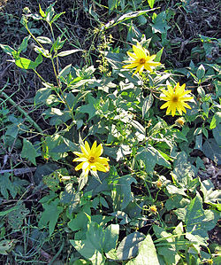 Helianthus tuberosus: aspecto general.