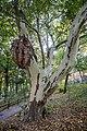 Torun ogrod zoobotaniczny platan klonolistny pomnik przyrody 01.jpg