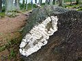 Totholz beim Kleinen Falkenstein.jpg