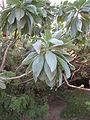 Tournefortia argentea.JPG