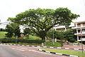 Tree along Kent Ridge Crescent near the Forum, National University of Singapore - 20070125.jpg