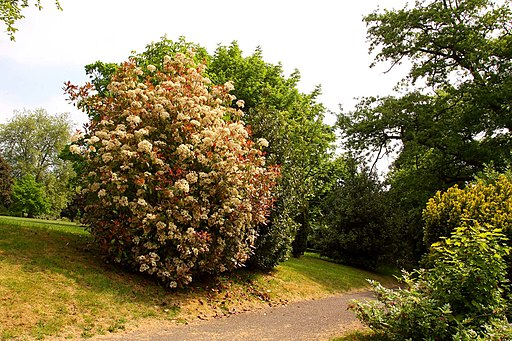 Tree in blossom in Royal Victoria Park - geograph.org.uk - 2068154