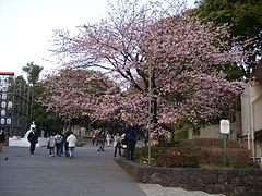 Tree in front of Ueno Park 2.JPG