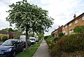 Trees in blossom, Sherwood Rd - geograph.org.uk - 1302593.jpg