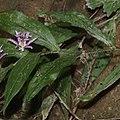 Tricyrtis hirta (leaf).jpg
