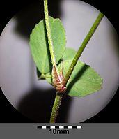 Trifolium campestre sl6.jpg