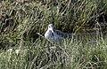 Tringa nebularia - Common Greenshank 02.jpg