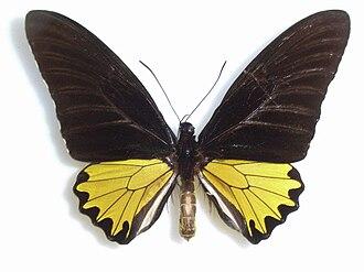 Troides andromache - Image: Troides andromache Staudinger, 1892