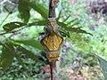 Troides minos - Southern Birdwing pupa at Thattekkadu (8).jpg