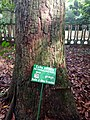 Tronc d'Arbre der Kola au Jardin des Plantes et de la Nature.jpg