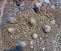 Troodon formosus eggs 01.jpg