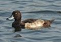Tufted Duck Aythya fuligula by Dr. Raju Kasambe DSCN9795 (11).jpg