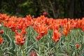 Tulipes sur le belvédère du Mont-Royal (525547409).jpg