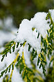 Two-tone Leyland Cypress and snow Seattle 2008.jpg