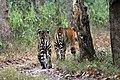 Two tigers.jpg
