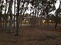 UCSD Eucalyptus Grove 5 2013-08-29.jpg