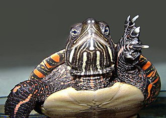 Painted turtle - Painted turtle's yellow face-stripes, philtrum (nasal groove), and foot webbing