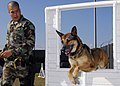 US Navy 081112-N-0780F-002 Military working dog Laika jumps through a window as her handler Master-at-Arms Seaman Logan McMichael eads her through the K-9 obstacle course.jpg