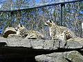 Uncia uncia -Toronto Zoo, Ontario, Canada-8a (1).jpg
