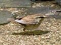 Urosphena squameiceps.jpg