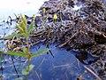 Utricularia in Wisconsin.jpg