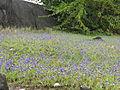 Utricularia reticulata 04.JPG