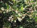Vaccinium consanguineum flores.JPG