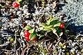 Vaccinium vitis-idaea Ljungdalen 20101001.jpg