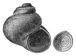 Valvata utahensis shell 3