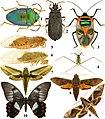 Vanikoro-entomologie-planche 3.jpg