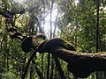 Veins - Sinharaja Forest Reserve.jpg