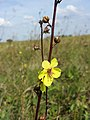 Verbascum blattaria sl10.jpg