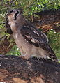 Verreaux's eagle-owl, or giant eagle owl, Bubo lacteus eating a snake at Pafuri, Kruger National Park, South Africa (20062719054).jpg