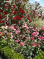 Verseghy park, rose garden, eastern pergola, red and pink, 2017 Szolnok.jpg