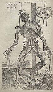 Andreas Vesalius - Wikipedia