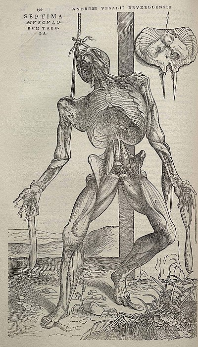 Vesalius's intricately detailed drawings of human dissections in Fabrica helped to overturn the medical theories of Galen. Vesalius Fabrica p190.jpg