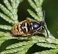 Vespula vulgaris (Common Wasp) - queen.jpg