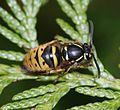 Vespula vulgaris (Common Wasp) - queen.jpg