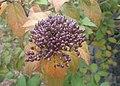Viburnum rigidum kz03.jpg