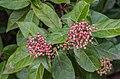 Viburnum tinus in Gard 03.jpg