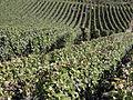 Vigne Pinot Noir (Festigny) Cl.J.Weber15 (23050667213).jpg