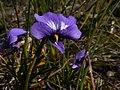 Viola decumbens Hangklip 02.jpg