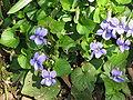 Viola riviniana002.jpg