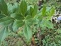Vitex trifolia 03.JPG