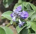 Vitex trifolia subsp. litoralis (flower and bud).jpg
