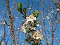 Vitoria - Huertas de Olárizu - Prunus domestica -BT- 02.jpg